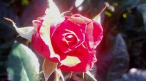 3.2013 Red Rose resized