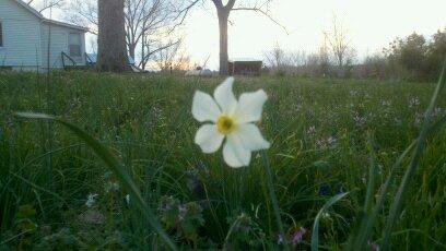 Lone Daffodil 2011
