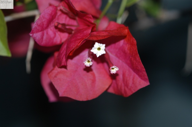 Bougainvillea in bloom. Shot with 250mm lens on Nikon D100.