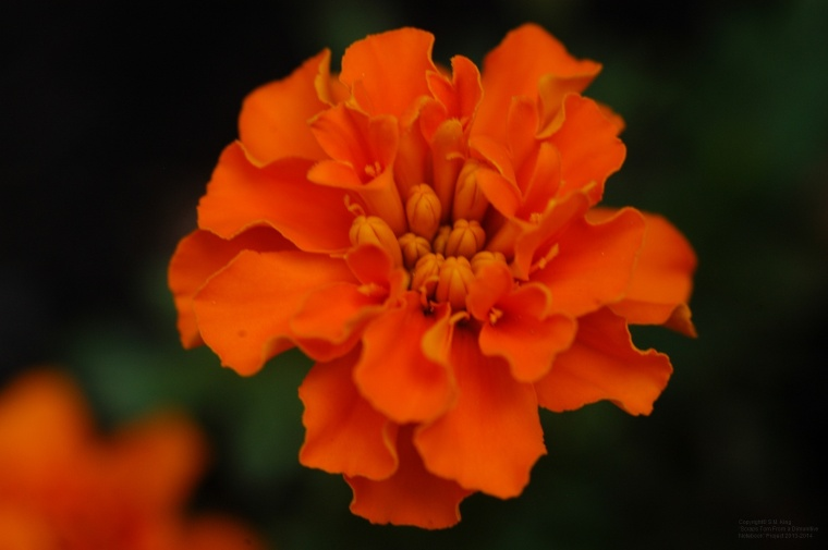 Vibrant common marigold, shot with 250mm lens on Nikon D100