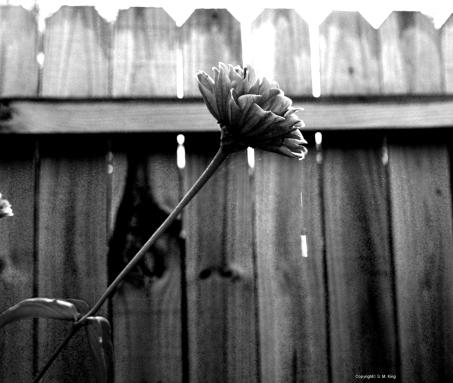 Zinnia raindrop