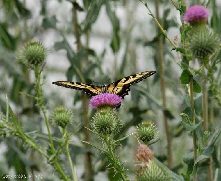 Nikon D 100 Eastern Swallowtail on Thistle