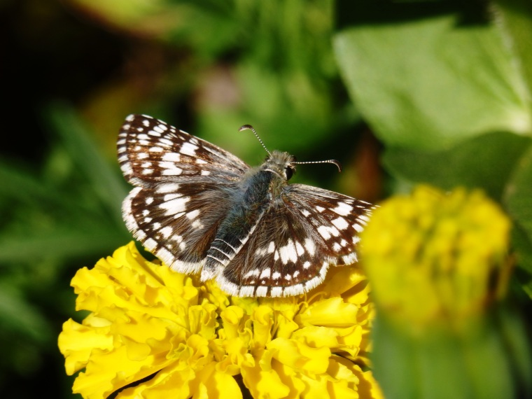 Checkerspot in situ
